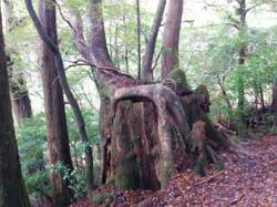 The environment is so humid, that new cedars sprout on the stumps of old ones.