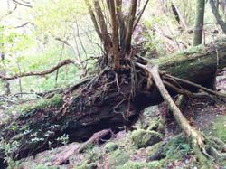 A tree growing on the trunk of a fallen tree.